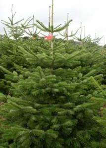 Nordmann_Christmas_Tree